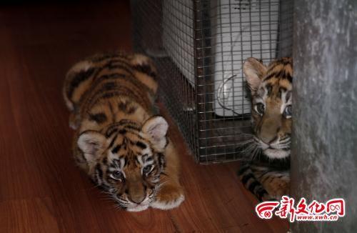 两只小老虎在电暖器旁休息