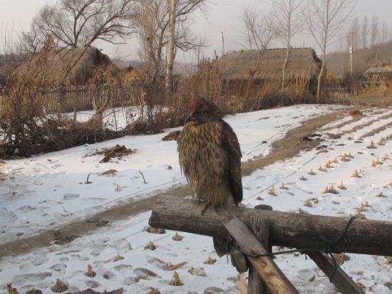 滕国富老人介绍满族人的鹰猎可分拉鹰、驯鹰、放鹰、送鹰几个过程,拉鹰就是捕鹰,拉鹰前要先祭鹰神。其中驯鹰最为困难。一般刚捕来的鹰猎人要起早就要架出去训,喂牛肉时主人要手拿牛肉喂鹰,这样能与鹰建立和谐的关系,能使鹰和主人渐渐熟悉。猎人把鹰带回家放在特制的鹰架上,几天不让它睡觉,以磨掉鹰的野性,熬鹰,即驯鹰。是指磨掉鹰之野性、磨练鹰的脾气的过程。施以开食、过拳、跑绳、勒膘等训练方法,反复月余,待鹰与主人熟悉了,即使飞至百余米外,听到鹰把式的口令呼唤,也能飞回鹰把式手臂上。鹰从山上捕来有大有