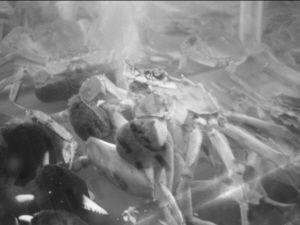 母蟹从公蟹壳内夹出蟹肉,送入嘴中 网友供图