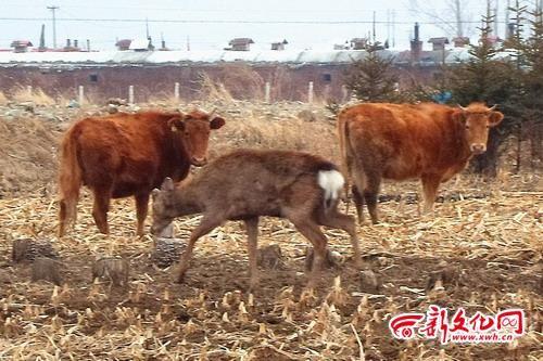 梅花鹿与牛群对峙