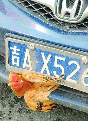鸡卡在牌照和牌照下方的进气格栅之间 读者供图