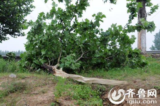 由于车辆的撞击,路旁的一棵树树干已经被折断