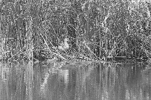 野鸭一家回归自然。