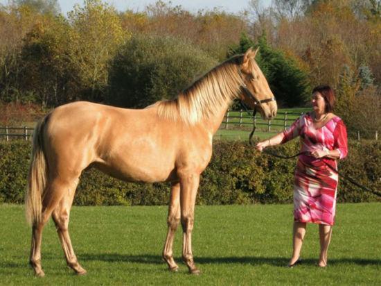 女子培育金鬃战马