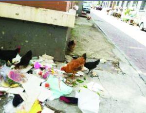 鸡在垃圾堆里吃废弃食物