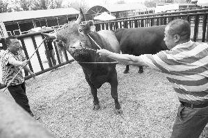 牛脾气可不小。