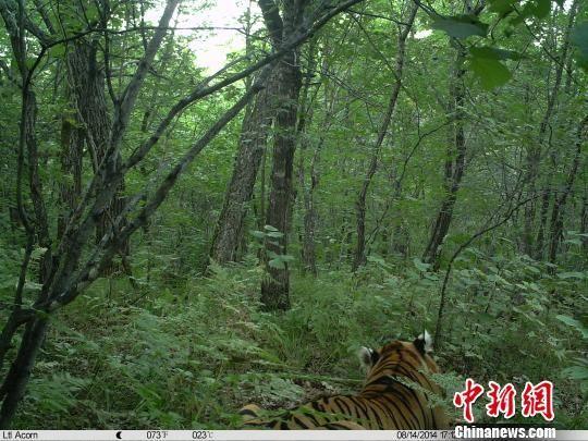 远红外相机拍下的野生东北虎 钟欣 摄