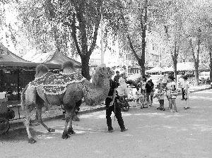 骆驼走到哪儿都是焦点