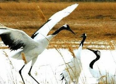 向海国家级自然保护区一类珍禽丹顶鹤60多只