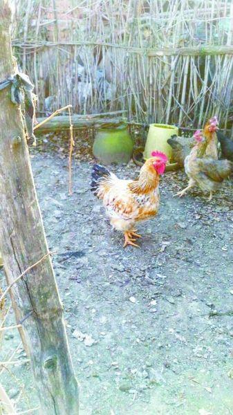 下蛋母鸡变公鸡