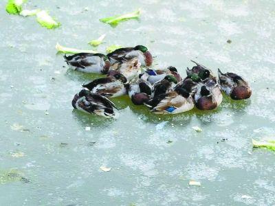 在公园冰面上的野鸭子