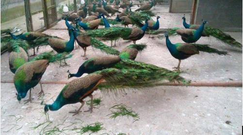 从2014年以来,在江苏的各地农村及城镇郊区,一种新型的特种养殖项目得到大家的追捧,孔雀养殖正在全省各地迅速普及!记者究其原因,通过系列调查发现,江苏孔雀养殖一直不错,只是这两年的孔雀消费得到了推广和普及后,市场的需求正在剧增,也带动了更多的有眼光的人加入到这个行业中。   我们采访了江苏丹阳凤吟珍禽孔雀园养殖场的总经理石国平,作为中国孔雀联盟的发起者之一,石总也是认可我们的看法和观点,他说:我们进入孔雀养殖行业有六、七年了,早期市场的接受及消费能力并不高,人家对孔雀产品的消费不是很接受,随意现在的生