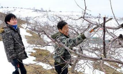 珲春市板石镇果农给苹果树剪枝