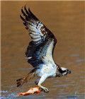 欣赏鱼鹰捕鱼
