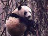 野外发现大熊猫