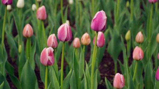 象征着神圣幸福与胜利 长春郁金香园