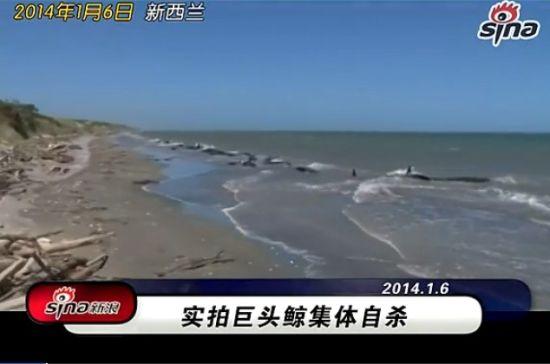 巨头鲸集体自杀